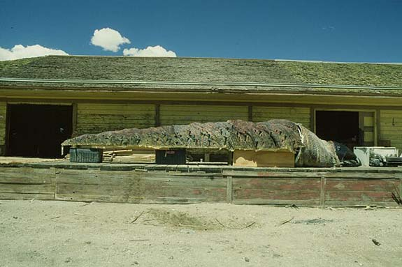 Full Scale Graboid Above Ground